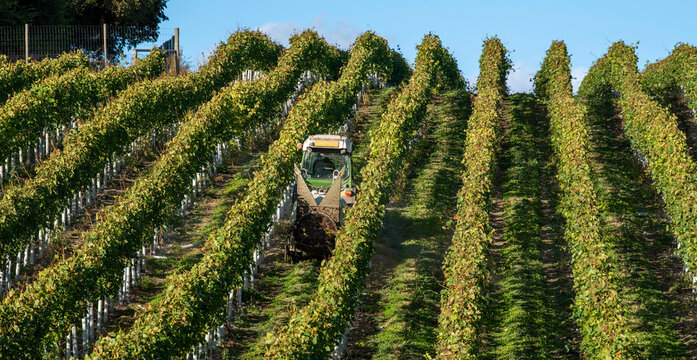 Hampshire, England, UK. 2021.  Tractor spraying vines in a Hampshire vineyard early autumn and before harvesting