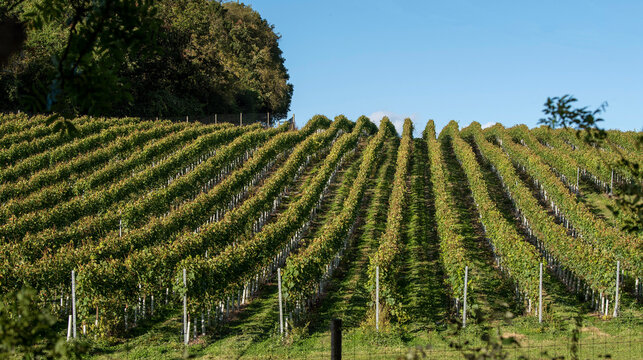Hampshire, England, UK. 2021.  Vines growing on a south facing hillside in Hampshire, southern England, UK
