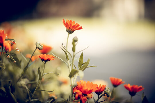 Orange flowers of calendula