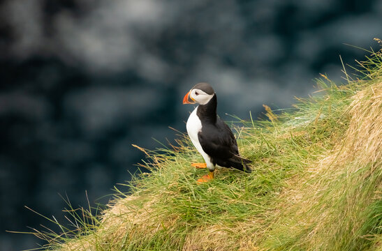 Puffins in Gjógv (gorge, geo), Eysturoy island, Faroe Islands. Set in a spectacular natural setting with a long ocean gorge and towering cliffs with enormous bird colonies