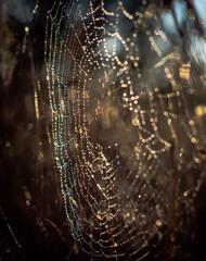 Obraz sieć, pająk, charakter, rosa, pajęczyna, net, woda, pajęczyna, kropla, deseń, makro, poranek, insekt, tekstura, kropla, pająk, mokry, pułapka, pajęczyna, deszcz, bliska, jesienią, projekt, jedwab, sie - fototapety do salonu