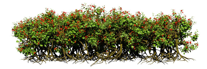 Fototapeta berry hedge with roots, bushes with red fruits isolated on white background obraz