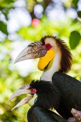 Fototapeta premium Wreathed Hornbill bird in Bali Island Indonesia