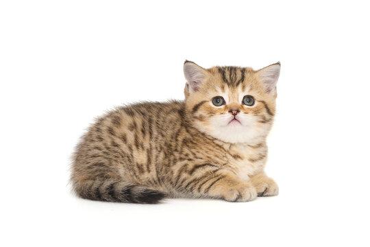 Small striped Scottish kitten of golden color
