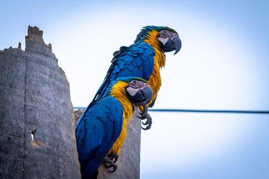 Arara Canindé, Pantanal, Mato Grosso do Sul,  Aves Silvestre, Arara