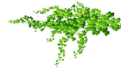 Fototapeta Realistic green bush liana ivy isolated on white background. Vector illustration obraz