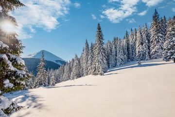 Fototapeta Sunny frosty day in snowy coniferous forest. Carpathian mountains, Ukraine. obraz