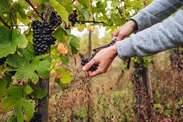 REMICH, LUXEMBOURG-OCTOBER 2021: Reportage at the seasonal Pinot Noir grapes harvesting in the...