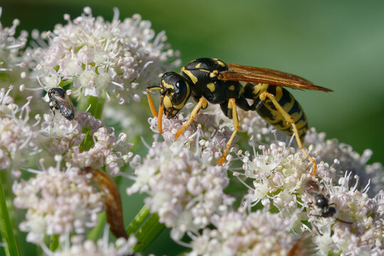 European paper wasp (Polistes dominula) on flowers