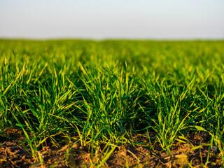 Fototapeta Green wheat field, agricultural landscape. obraz