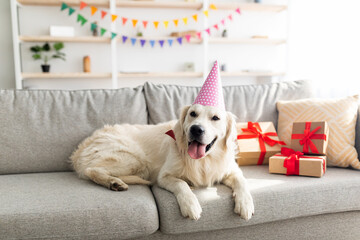Obraz Adorable pet dog wearing party hat, lying on couch surrounded by gift boxes, having birthday celebration at home - fototapety do salonu