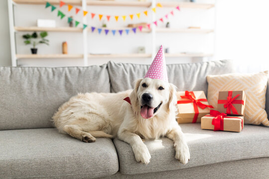Adorable pet dog wearing party hat, lying on couch surrounded by gift boxes, having birthday celebration at home