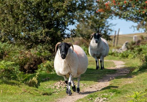 Dartmoor, Devon, England, UK. 2021. Walking along a tracke, Scotch Blackface sheep on Dartmoor above Widdecombe village, Devonshire, UK