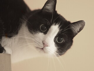 Fototapeta Biało czarny kot obraz