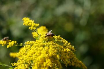 Fototapeta Pszczoła miodna siedzi na żółtym kwiatku zbierając nektar. obraz