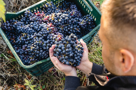 Close up on hands of unknown man holding a bunch of red grapes in vineyard above the basket or box full of harvested grapes copy space top view
