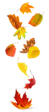 Falling leaves. Multicolored autumn leaves of various trees (maple, birch, oak, linden, aspen) isolated on white background