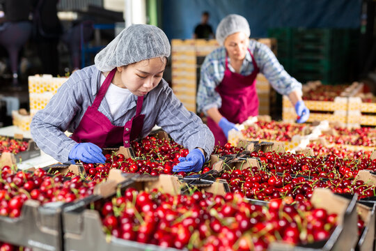 Positive woman working on fruit sorting line at warehouse, checking quality of cherry in boxes