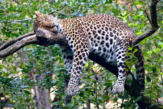 Javan leopard (Panthera pardus melas) sleeping soundly on a branch