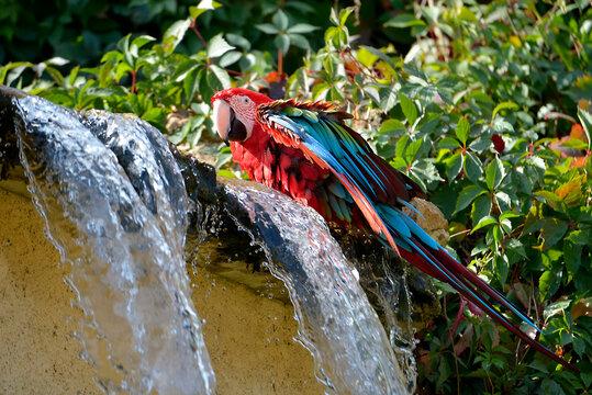 Green-winged macaw (Ara chloroptera) next to a waterfall
