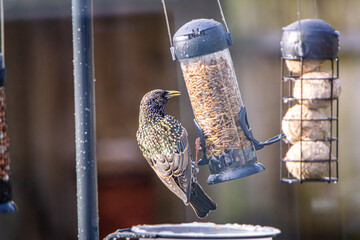 Fototapeta Starling on bird feeder obraz