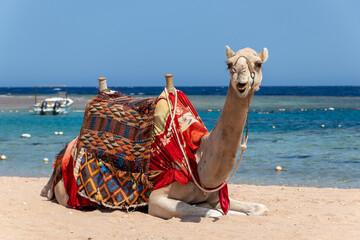 Camel is sitting at egyptian beach Sharm El Naga, beautiful blue sea and sky, Egypt