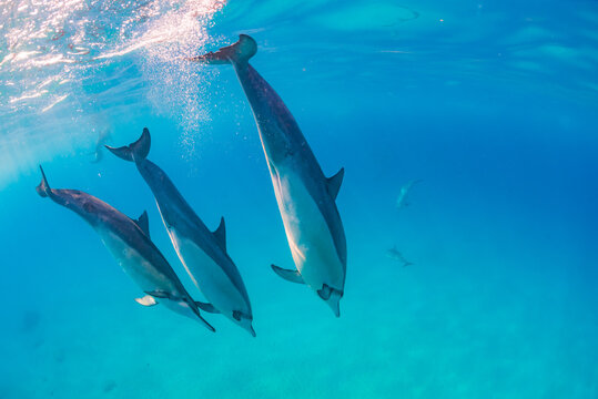 Dolphin pod diving in clear blue tropical ocean