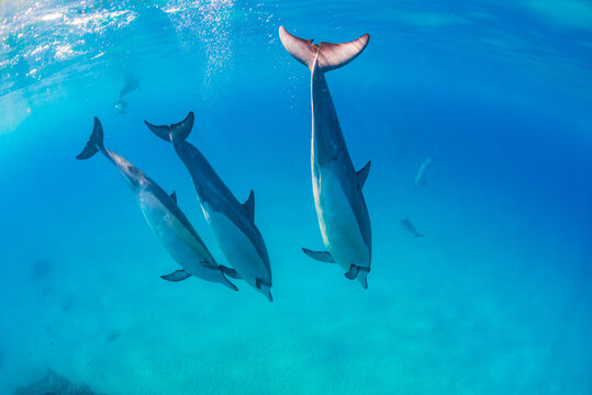 Dolphins diving in clear blue ocean