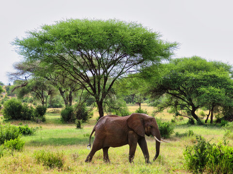 Elephant in the safari in Africa
