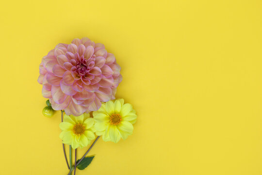 Dahlia pink and yellow flower on yellow paper background. Copyspace.