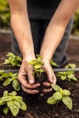 Fototapeta Two female hands holding a green plant growing in soil obraz