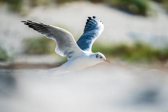 Fliegende Möwe über einem Strand