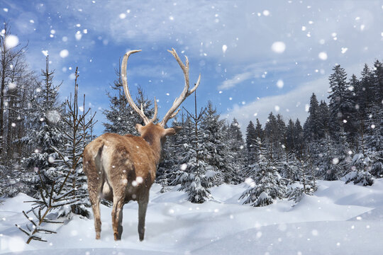 Hirsch im zugeschneiten Wald