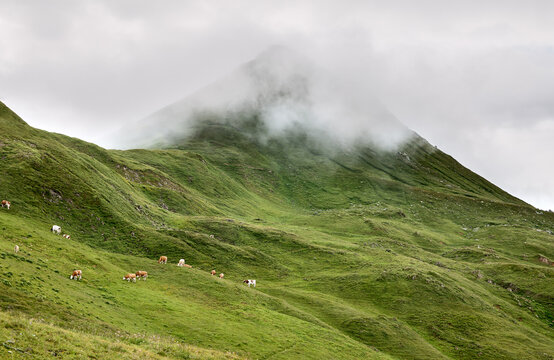 milk cows grazing in mountains