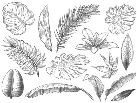 Hand drawn tropical leaves. Sketch tropic plants leafs, hand drawn exotic floral leaf vector illustration set
