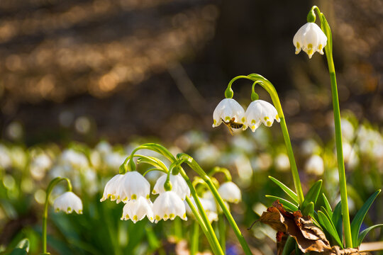 closeup of first flowers in spring. floral background in springtime. beautiful white messengers of season change in nature