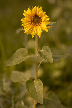 Sonnenblume mit Unschärfe