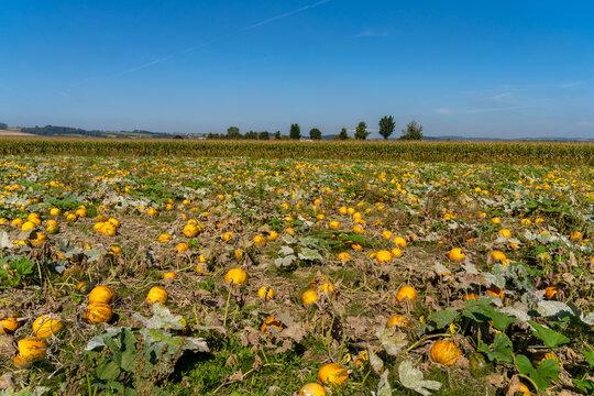 Pumpkin fields in early autumn along on farms along the Danube river in Lower Austria