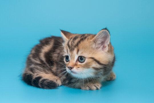 Scottish, striped, red kitten
