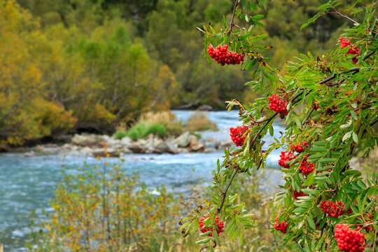 Rowan berries on a branch, over a mountain river