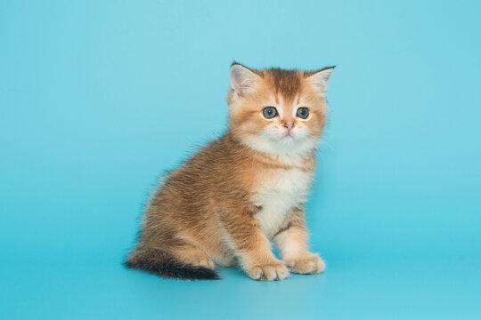 Small, beautiful,  Scottish kitten.