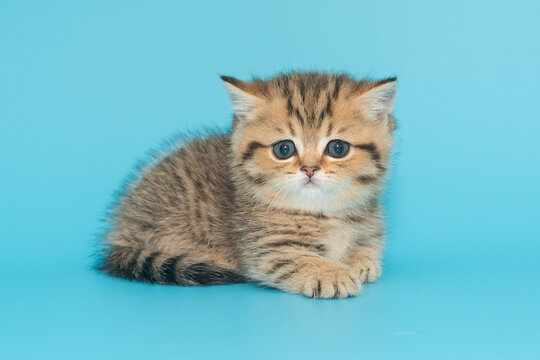 Scottish kitten sits on a blue background