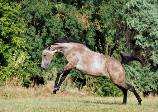 A young warmblood horse born of a bay in the process of changing color to gray