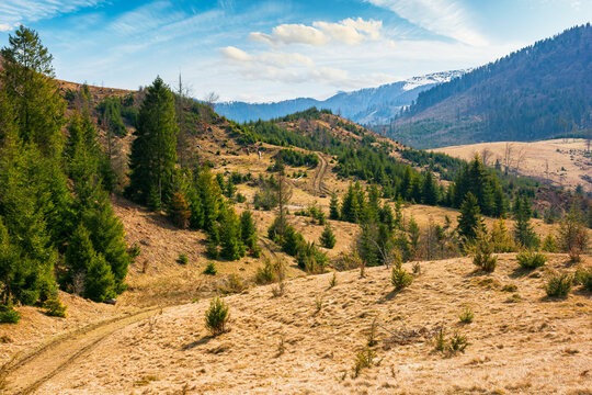 autumn landscape in mountains. green spruce trees on the hill and beech forest in fall foliage in the distance. warm weather on a bright sunny day with fluffy clouds on the sky