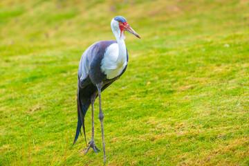 Fototapeta premium Wattled crane, grus carunculata, bird foraging in a green meadow
