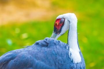 Fototapeta premium Closeup of a white-naped crane, Antigone vipio, Grus vipio, bird,