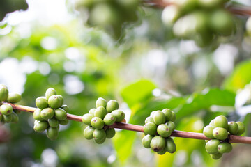Green or unripe coffee fruit segments. Coffee beans in detail with blurred background. Robusta...