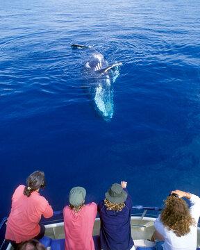 whale watching  in Hervey bay Queensland, Australia.