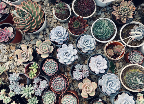 Succulent plant for decoration at house