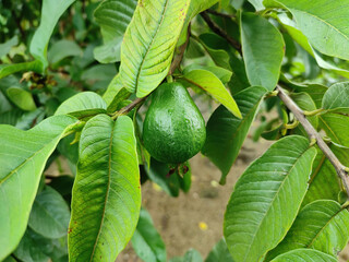 Closeup shot of a green guava fruit growing on the tree